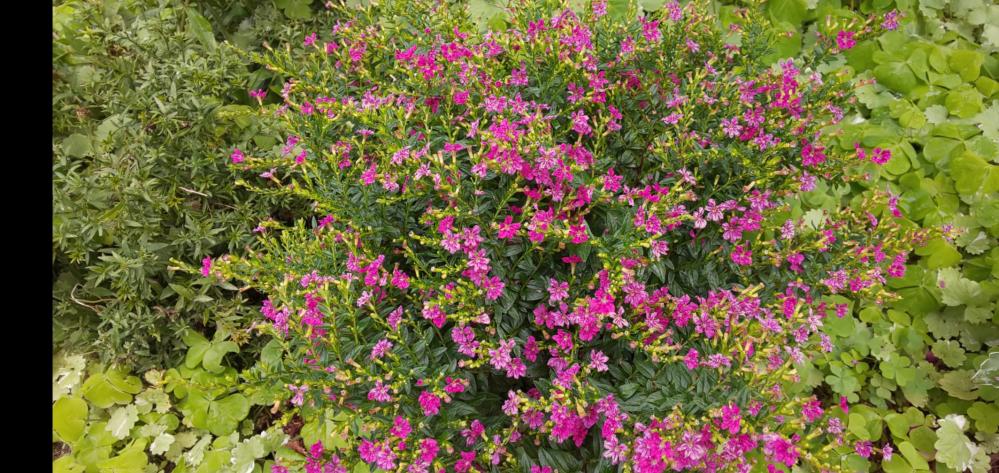 この花の名前は メキシコハナヤナギで合ってますか?