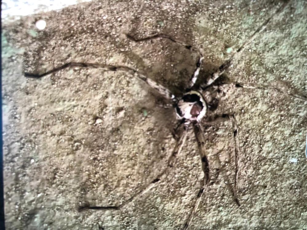 この蜘蛛の名前が知りたいです。分かる人がいたら教えて下さい。