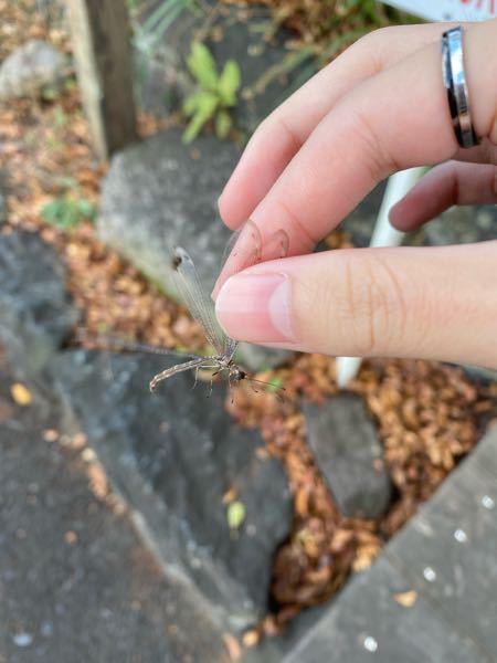 この虫はなんでいう虫ですか?トンボっぽいような違うような…