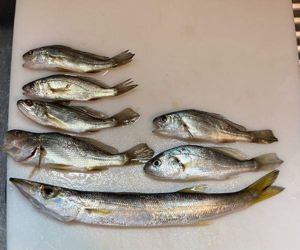 この魚はなんでしょうか? 一番下はアカカマスかと思うのですが カマスの上は右側がイシモチ 左側の4匹はニベ で合っていますか? 江ノ島付近で釣れました。