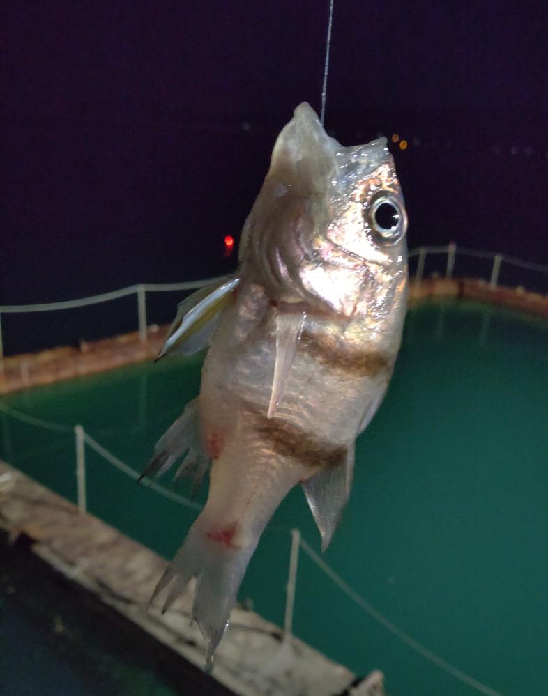 この魚はなんでしょうか? 和歌山県日高のあたりでエサ釣りしてたら よくかかりました。 10㌢前後で、とても透明感のあるキレイな白い体をしています。 食べられるのでしょうか? よろしくお願いします。