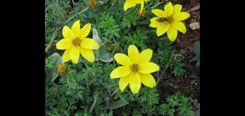 朝 名前を教えて頂いた花と同じく 背丈は低いです。 花びらの枚数と 葉の形が違うようなので 違う花だと思うんですが どうでしょうか?