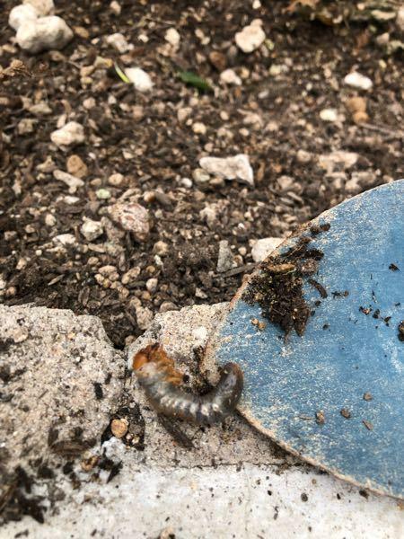 庭の土を掘り返したらこんな幼虫が出て来ました。 手が生えてて見たことないんですが、なにか分かる方いらっしゃいますか?