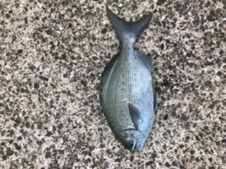 ★この魚は何ですか? イスズミですか? メジナとの区別が分かりません。