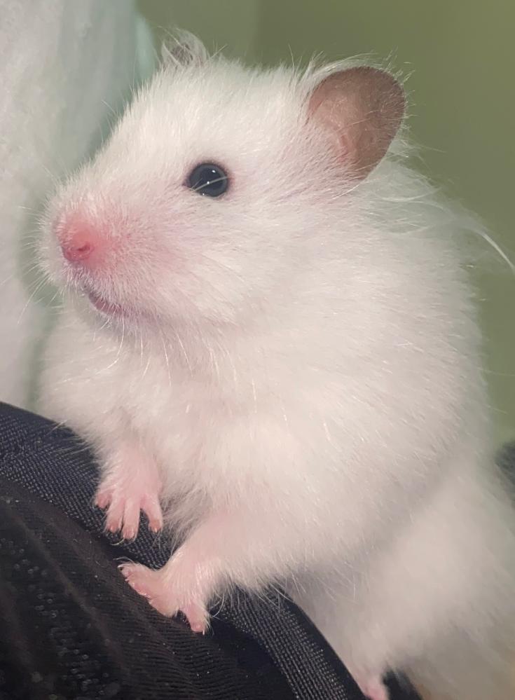 ハムスター 長毛種 目の色 画像の黒目?の周りにあるグレーぽいものは白目ですか?もう1匹飼っているキンクマと目の色が違ったので気になって質問させていただきました。