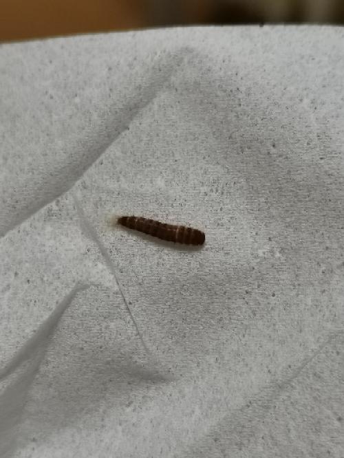 この虫はヒメカツオブシムシでしょうか。 実物はもう少し明るい茶色です。