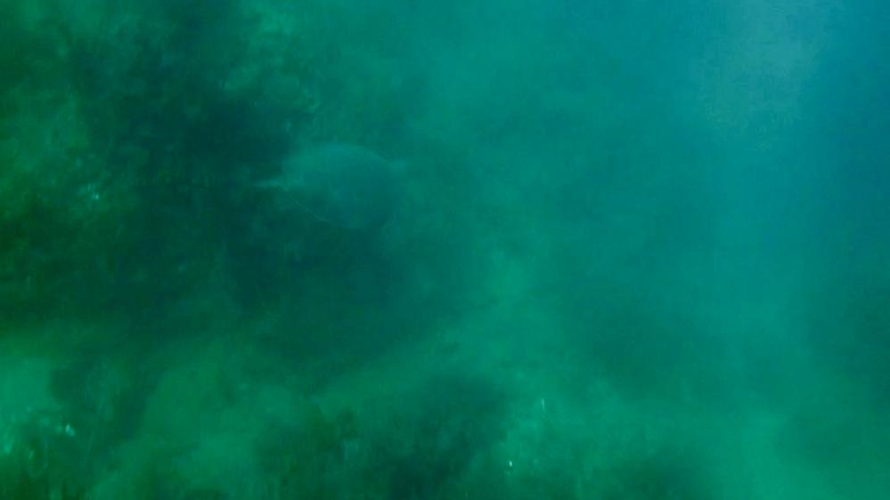 千葉県の館山市の磯で動画回しながら軽くスキンダイビングをしていたところ、チラッとだけですが海亀を映像に収める事ができました。 甲羅の大きさは縦60cm位で、ヒレの裏側は白かったです。 距離が遠く濁りもあったので非常にわかりにくいですが、この子の大体の年齢と種類がわかる方はいらっしゃいますでしょうか? また、千葉県でのダイビングについて詳しい方おりましたら、ウミガメの遭遇率についても教えて頂きたいです。 人生において野生のウミガメに遭遇するのが初めてだったため、非常に興奮しました。 宜しくお願いします。