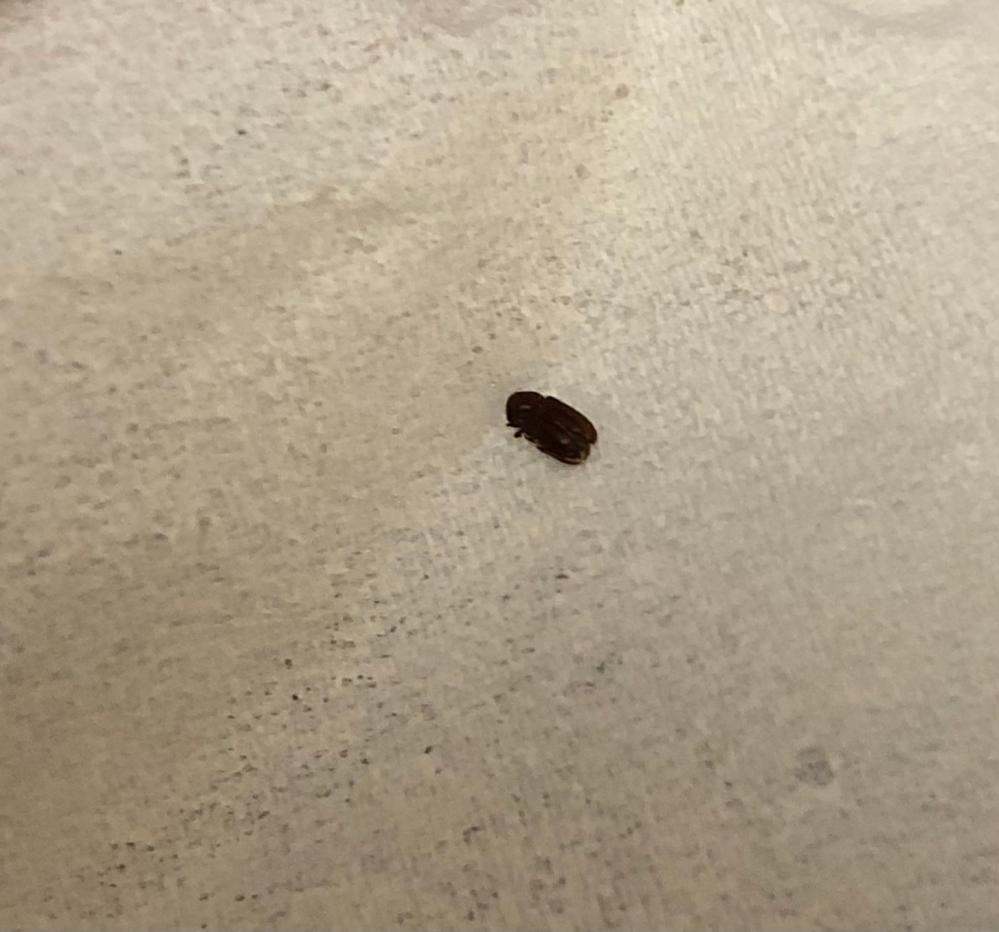 (注)虫の写真があります。 5日ほど前から、画像のような小さい虫が布団周辺で大量発生していて困っています。 布団のせいかなと思い、晴れている日に布団を干し、掛け布団、シーツ、枕を洗濯しましたが効果なしです...。 玄関や台所には現れません。布団周辺のみ出現します。こいつの習性かは分かりませんが、死んでいると思ったら急に動き出したりします。 羽のようなものはありますが、飛びません。 小バエと同じくらいのサイズです。 家も物は最低限なので本当に原因が分かりません...。 どなたか分かる方いましたら虫の種類と対処法を教えて欲しいです。 気持ち悪くて困っています...泣 宜しくお願いします。