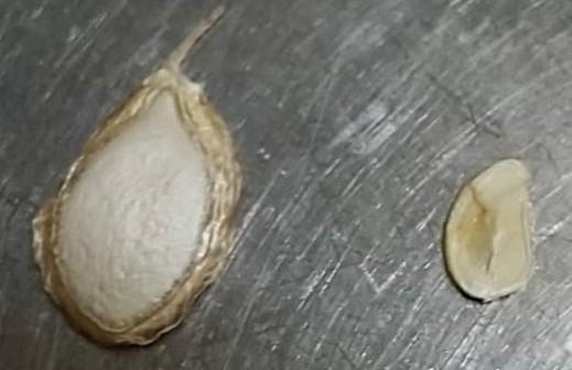 バターナッツかぼちゃの種が異常に小さいのですが、カボチャの大きさは1Kgを超えていて外見は普通ですが、種が1/30位です。何故でしょうか。収穫から1か月寝かせたので、味は変わりません。 左の画像は、8月に収穫して、乾燥させたもの、右側が今回の画像で生です。