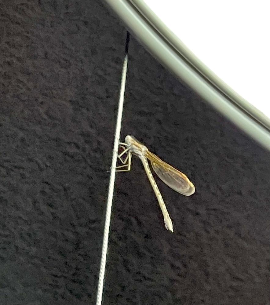 昨夜、部屋の中を飛び回っていた虫が何なのか気になって今朝は朝食しか食べれませんでした。 トンボの仲間ですかね?