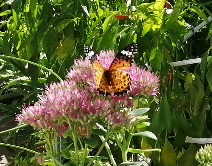 ベランダのオオベンケイソウの花に綺麗な蝶か蛾が蜜を吸いに来ています。 何と言う昆虫なのかご存知の方がいらっしゃいましたらお教え下さい!
