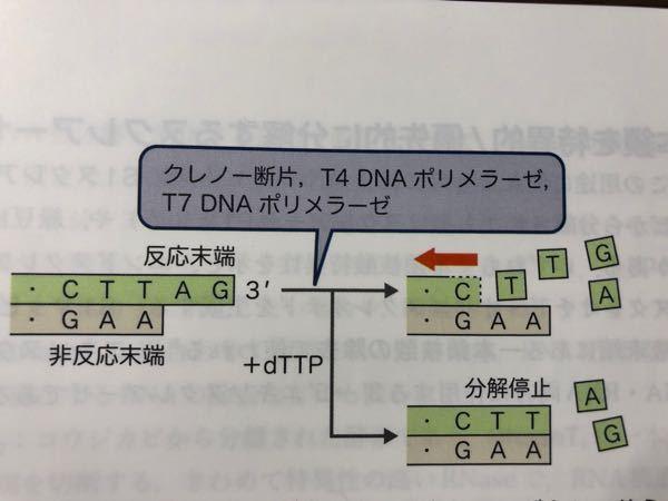 なぜdTTPを加えると分解が止まるのですか? 他のdNTPではどうなりますか?