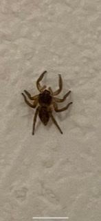家の中にいた蜘蛛です。 初めて見る気がしたので、質問させていただきました。 有害でしょうか。
