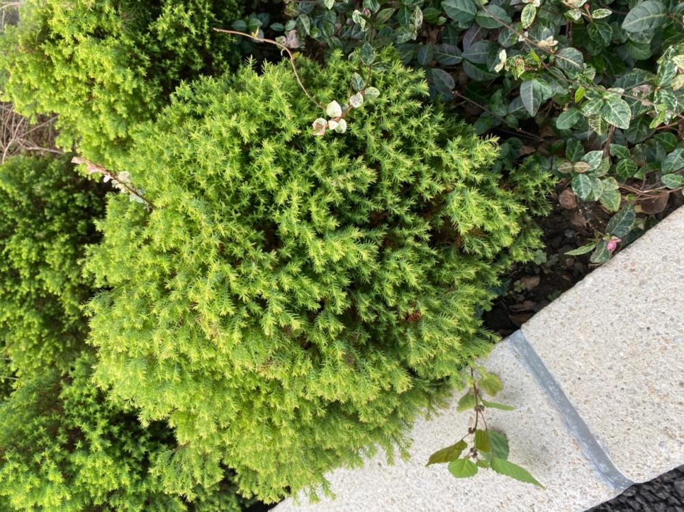この低木、何という植物か分かる方、教えてください。
