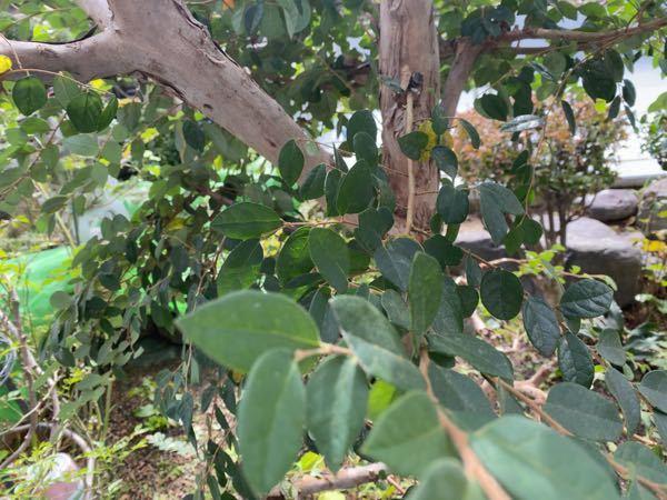こんにちは。 なんの木ですか? どなたかよろしくお願いします。
