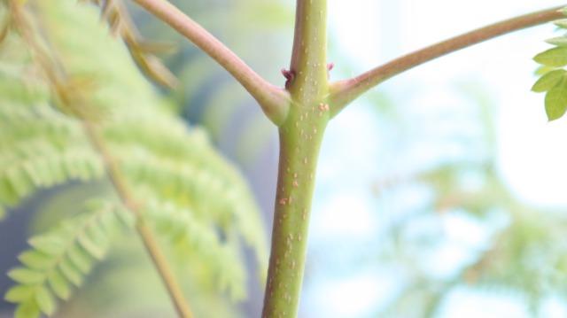 ジャカランダの幹に白い点々がついています。こちらはいわゆる「カイガラムシ」なのでしょうか? それとも幹が木化する過程?なのでしょうか? ご知見ある方、よろしくお願いいたします。