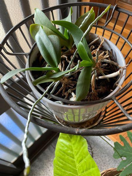 去年亡くなった母が育てていた植物です。 白い蘭のような花が咲いていたと思いますが、今年は咲きませんでした。 最近、根の様なものが伸びてきました。 これは鉢が小さいせいでしょうか? また花を咲かせ...
