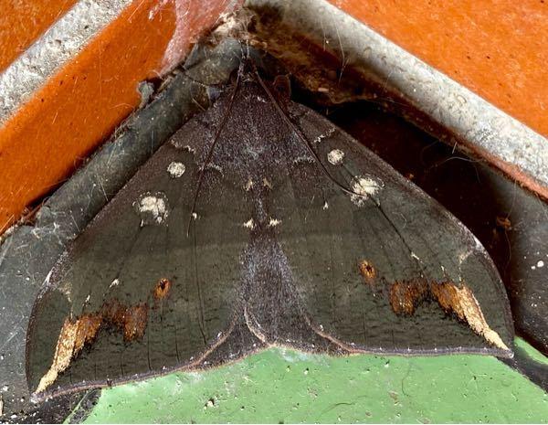 この灰色の蛾の名前を教えて下さい。初めて見ました。沖縄です。