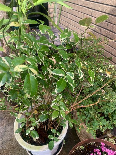 この木をもらったんですが、名前がわかりません。どなたかわかる方教えてください。