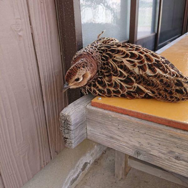 この写真に写っている鳥の種類を教えてください。 家の前にいました。怪我をしているようです。。。