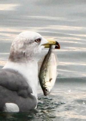 ウミネコがゲットした魚は何ですか?