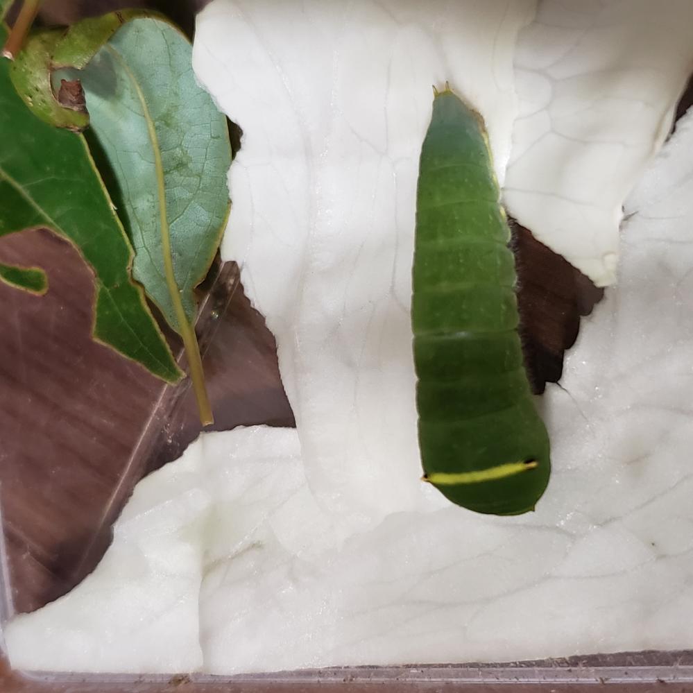 この青虫は、何の幼虫かわかりますか?公園で見つけて持ち帰ったのですが、種類によって食べる葉っぱが違うかと思いますので、教えてください。