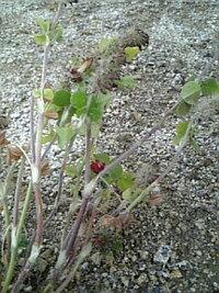 こちらの花の名前は ストロベリーキャンドルであってますか?? お義母さんからそういわれました。。  葉っぱは クローバーで花はイチゴみたいな 赤い花が咲いてましたが ある日を境に、枯れ始めてます。。 見たら、 葉っぱの裏にアブラムシみたいな虫がびっしりついてました…(T_T) まだ花と緑の葉っぱ部分が残ってるんでなんとか元気になって欲しいですが…  もう枯れる時期ではないはずですが。。不思議...