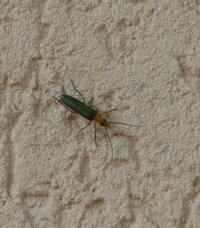 頭が黄色く、体(羽)が緑色の この虫はなんという虫か分かる方いますか?  家の壁にたくさんはりついていて気持ち悪いです。。。