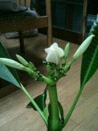鉢植えのプルメリアの蕾が咲かずに落ちてしまいます。何が原因でしょうか?どうしたら咲くでしょうか? 苗木で買ってきたのが11月、越冬して葉を出しようやく蕾が出ました。 しかし、咲かずに次々と蕾のまま落...