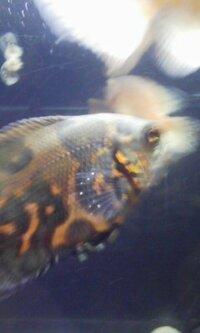 幼魚オスカーの白い点について質問なのですが、胸ビレに両方五つほど白い点が付いていて、あと目の下にも二つほど白い点が付いています・・・これは白点病でしょうか? http://detail.chiebukuro.yahoo.co.jp/qa/...