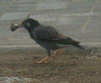 セミを啄ばむ鳥を見ました。 セミなど好物なのでしょうか?
