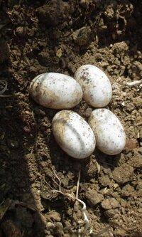 畑の土の中から出てきた卵、へびか、カメの卵っぽいんですが、蛇の卵と亀の卵と、見分け方ってありますか?わかるかた、教えてください。 写真も載せてみます。 鳥の卵みたくかたくありません。 弾力があり柔ら...