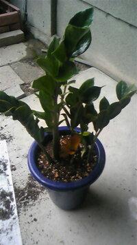 この写真(画像)は何という植物ですか?  2年位前に知り合いが100円均一で購入し私にくれました。 鉢が破裂しそうな位に大きくなったので植え替え た所…根っこにジャガイモ(種芋)みたいな大きな球根!?がありまし...