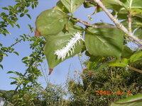 ヤマボウシの葉っぱの裏に写真の、毛虫?のような虫がついています、白い物は毛糸のような、やわらかいふさふさしたものです、 見たこともないのでどなたか正体を教えてください。