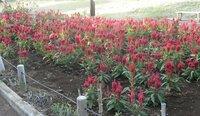 一面ケイトウだけの花壇がありました。 赤一色の花壇。 ケイトウは育てやすいのでしょうか?
