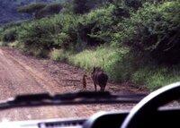 ミーアキャット と イボイノシシって一緒にいる習慣があるですか? ライオンキングのティモンとプンバァ みたいに。こないだ友達がケニアに旅行へ行ってて彼の写真は自然のミーアキャット と イボイノシシがいっ...
