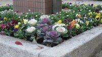 葉牡丹の花壇。見事です。♪ 葉牡丹は冬の外気に強いのでしょうか? このように美しさを保ってゆけるのでしょうか。