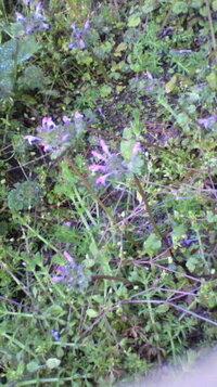 この紫の花は何という雑草ですか。畑一面に咲きました。 やっぱり抜くべきでしょうか・・・?
