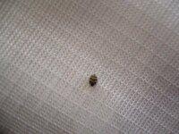 春になると家の中にこの虫がよくでます。居間のカーテンなどにくっついています。 てんとう虫?図鑑などをしらべましたが分かりませんでした。 人や家に害をなす虫なのかと不安です。 見ずらくてすみません。
