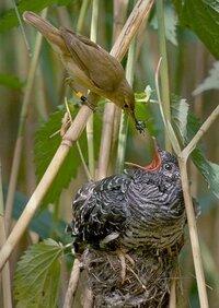 カッコウは「托卵」を行いますが、なぜ孵化後(カッコウの卵が)も、托卵された鳥は気づかないのですか?自分よりも大きい雛が生まれたりしても気づかない理由が全く分かりません。ちょっと文章下手ですいません。