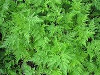 植物の名前を教えてください うちの敷地に、写真のような葉っぱの植物が大量に生えてきました。 見た感じは、にんじんの葉っぱに近いです。  我が家は山の中に建っているので、ワラビや山椒などが自然に生えて...