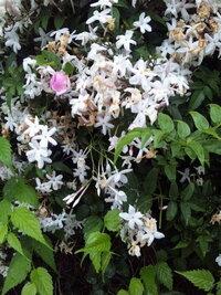 花の名前がわかりません。 5月初旬に東京でよく見かけた花で、甘い匂いがしてました。 何の花かわかる方、いらっしゃいますか…?