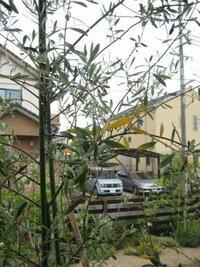 オリーブ(ミッション)の花が落ち、葉も黄色くなって元気がありません。 2009年5月にオリーブ(ミッション)高さ2mを購入し、大き目の鉢で育てているのですが。今年の5月ごろから花がつき出しているのですが、最近、花が一気に落ちだし、葉も黄色くなって落ちてきました。春は新芽も出て元気でした。最近したこととして、化成肥料を少し上げたぐらいです。鉢植えをした際にはホームセンターで売っている普通の培養...