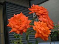 四季咲きの大輪ですが、名前が分かりません・・・  鮮やかなオレンジの花です。  宜しくお願いします。