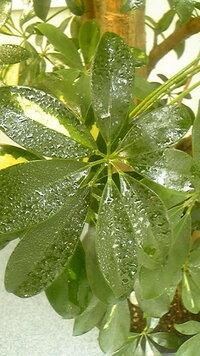 室内にあるカポックですが、葉の表面から油のようなテカテカしたものが染みだしてきます。拭き取ってもまた染みだして来るのですが、一体これは何なんでしょうか?一般的に出るものなのでしょうか、それとも病気?