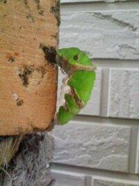 蝶の蛹から羽化するまでの期間と時間について質問があります。 只今自分は幸運にも玄関で蛹になってくれた蝶の観察をしています。 ナミアゲハかクロアゲハかな?と思っているのですが何分あまり詳しくはないもの...