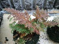 この植物の名前を教えてください。  おじいちゃんの家から持ってきたのですが、これは何ですか??なんかのシダ類?  分かる方よろしくお願いします(^O^)