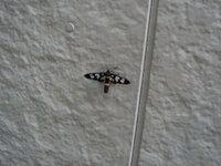 黒地に水玉っぽい蛾 この蛾の名前を教えてください。自宅の外で見つけました。3センチくらいの小さな蛾です。黒地に水玉っぽい模様で、おしりが黄色です。気になってしかたないので、誰か教えてください! よろしくお願いします。