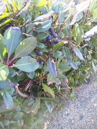 海辺の生垣、黒い実がなっていましたが、なんという植物でしょうか?