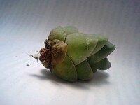 多肉植物が根っこごと取れてしまいました。 根っこもほとんどない状態ですが復活させることは可能でしょうか?